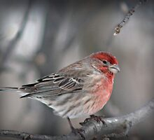 Housefinch by Dave Chafin Photography