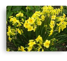 Daffodils in the green Canvas Print