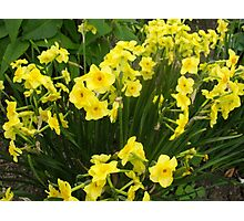Daffodils in the green Photographic Print