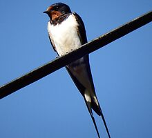 Swallow taking a rest by Deb Vincent