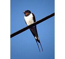 Swallow taking a rest Photographic Print