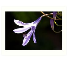 Just one agapanthus flower Art Print