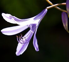 Just one agapanthus flower by Anna Calvert