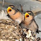 Singing for their Supper - Baby Welcome Swallows by Alwyn Simple