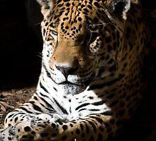Jaguar in Half-light by Agro Films