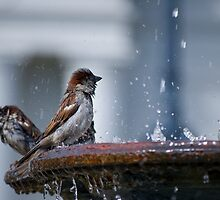 Bathing Sparrows by Diego Re