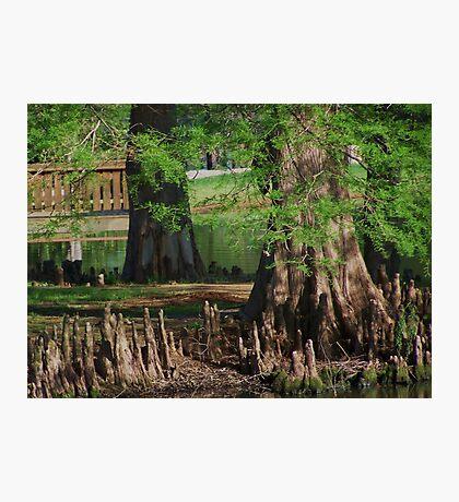 Cypress Nubs Photographic Print