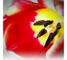 Two Toned Tulip Photographic Print