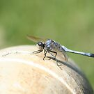 Blue Dragonfly by Adah