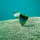 Butterfly Fish - Fiji by Reuben Reynoso