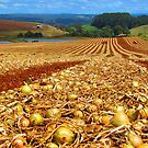Flowerdale Onions Drying by Paul Campbell Psychology