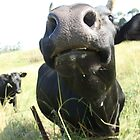 MOO-Nosey cow by jb08067