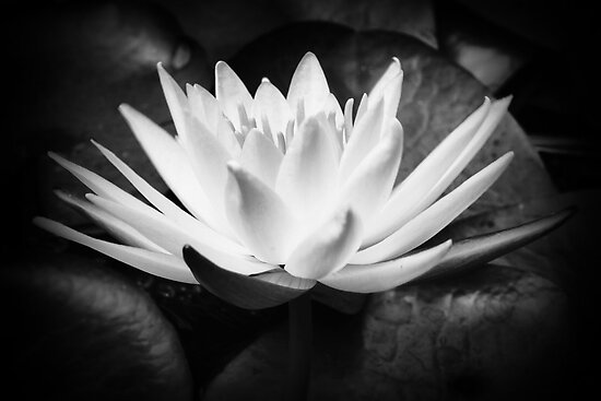 The waterlily by Kym Howard