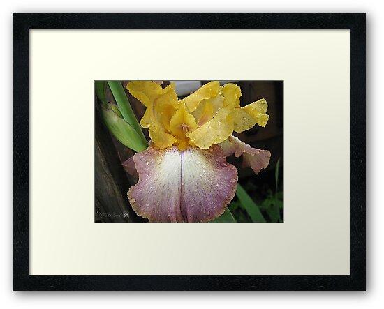Tall Bearded Iris named Butterfingers by JMcCombie