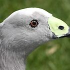 Cape Barren Goose by dilouise