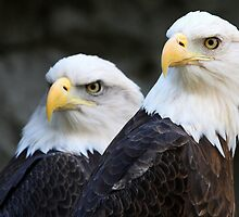 Bald Eagles by Rob Lavoie