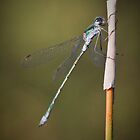 Damsel Fly with morning Dew by Oaktreephoto