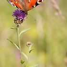 Painted Lady by Oaktreephoto