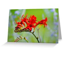 Crocosima Flower Greeting Card