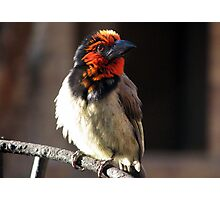 Black-collared Barbet /Rooikophoutkapper Photographic Print