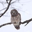 Barred Owl - Kanata by Jim Cumming