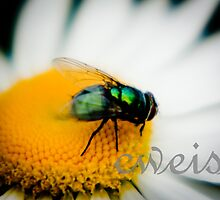 Horsefly on Flower by cweiss