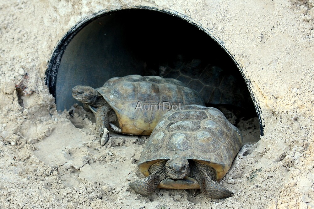Gopher Tortoises by AuntDot