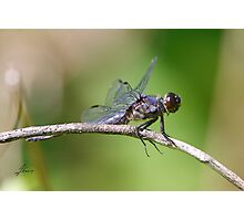 The Horseback Riding Dragonfly Photographic Print