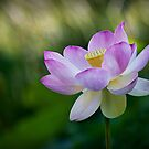 Lotus by Sharon Hammond