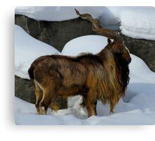 Look at My Regal Splender (Markhor) Canvas Print