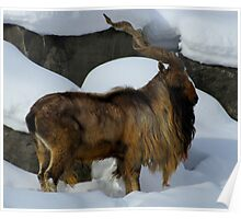 Look at My Regal Splender (Markhor) Poster