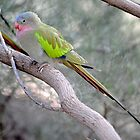 Princess Parrot - West MacDonnell Ranges by Alwyn Simple