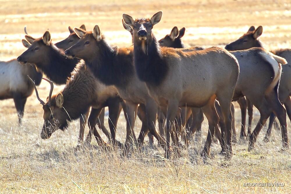 Montana elk herd in January by amontanaview