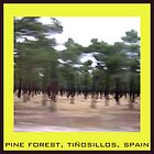 pine forest by calcidiscus