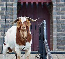 Big Billy Goat Gruff by clearviewstock
