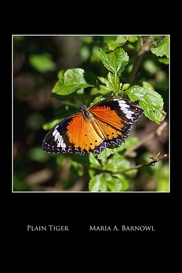 Plain Tiger Butterfly - - Posters & More by Maria A. Barnowl