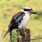 Kookaburra sits on an old fence post! by KiriLees