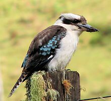 Kookaburra sits on an old fence post! by KiriLees