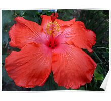 Dynamite Hibiscus Poster