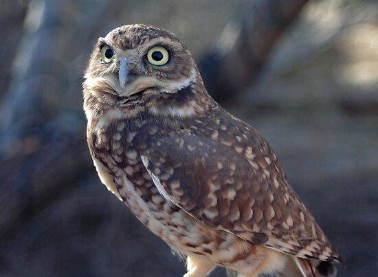 Owl by Julie Moore
