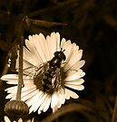 Hover Fly by Josie Jackson
