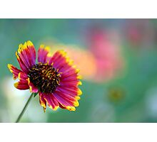 California Blanket Flower Photographic Print