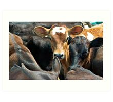 Calves in a feedlot Art Print