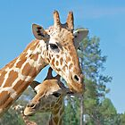 Mother's Love - Mother and baby giraffe together by clearviewstock