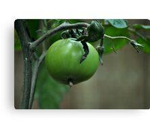 Green Tomato Canvas Print