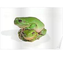 two litoria caerula green tree frogs one on top of the other  Poster