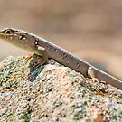 Little skink lizard  by clearviewstock