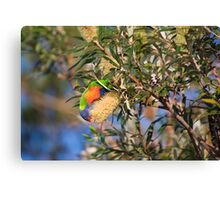 rainbow lorikeet  from a large banksia flower Canvas Print