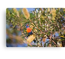 Rainbow lorikeet in Banksia Canvas Print
