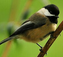 OREGON CHICKADEE by RoseMarie747